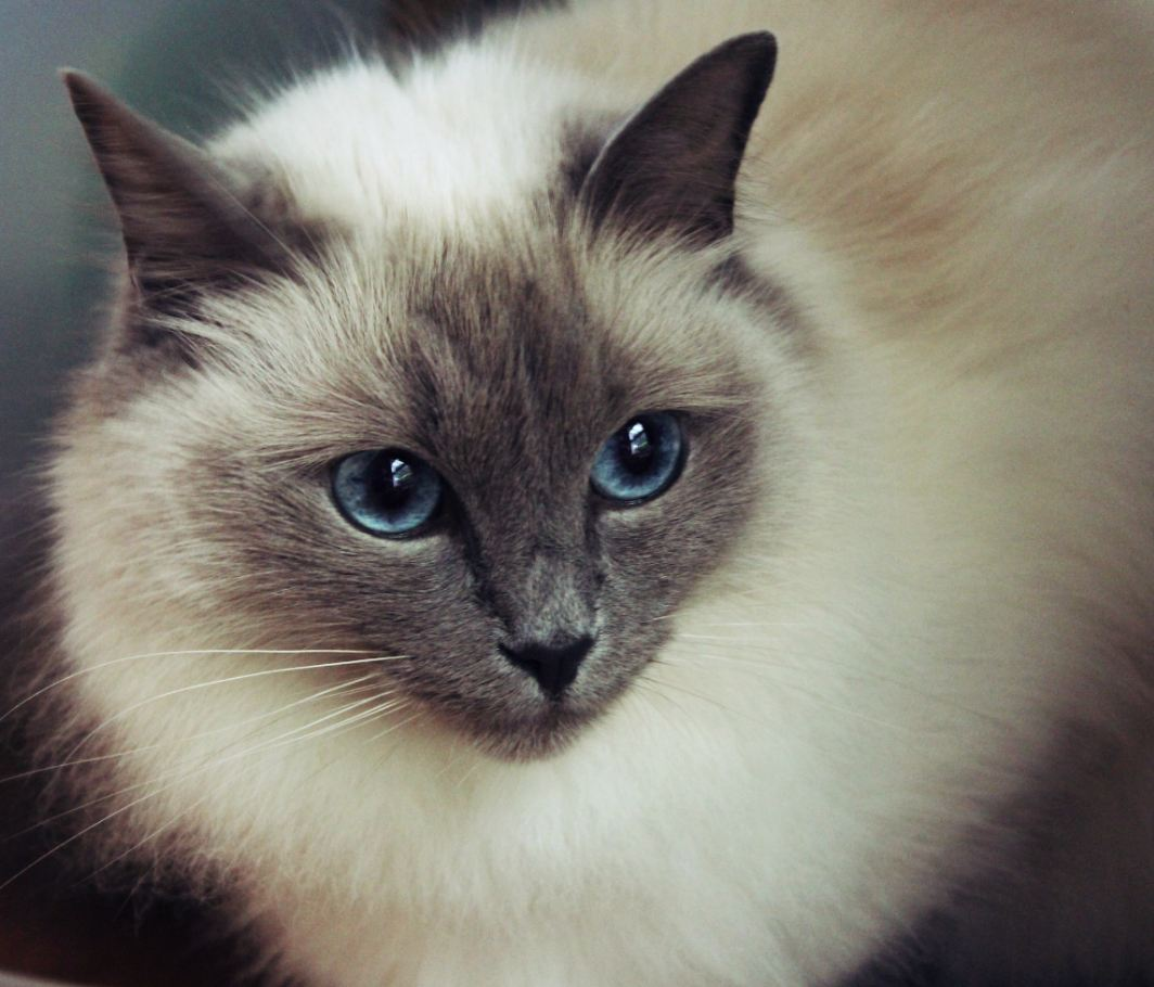Prettiest Cat Breed And she has the prettiest blue